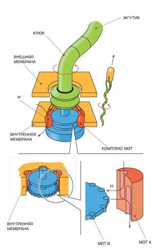 Схема «электродвигателя» бактерии («Популярная механика» №1, 2016)