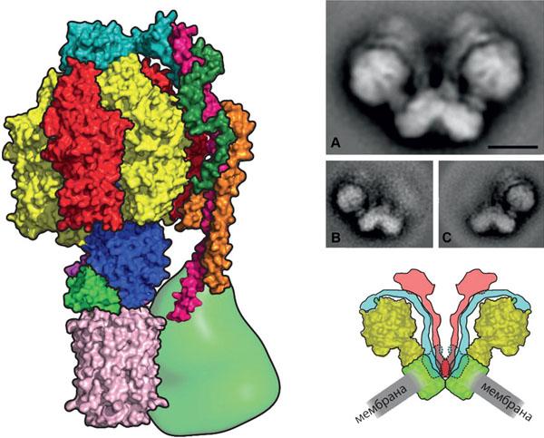 Как и в случае со жгутиками бактерий, движение ротора АТФ-синтазы было подтверждено экспериментально («Популярная механика» №1, 2016)