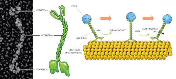 Кинезин, шагая по «тропинкам» из микротрубок, переносит различные грузы в клетке («Популярная механика» №1, 2016)