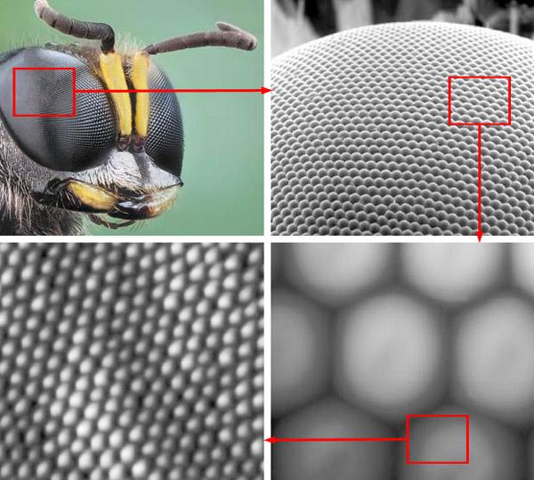Рис. 3. Устройство сложного глаза насекомого («Природа» №1, 2015)