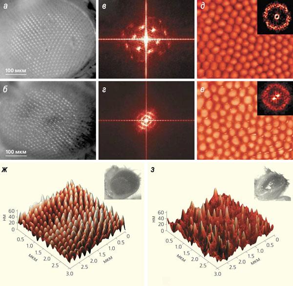 Рис. 4. Наноструктура глаз дикого и мутантных типов Drosophila melanogaster («Природа» №1, 2015)