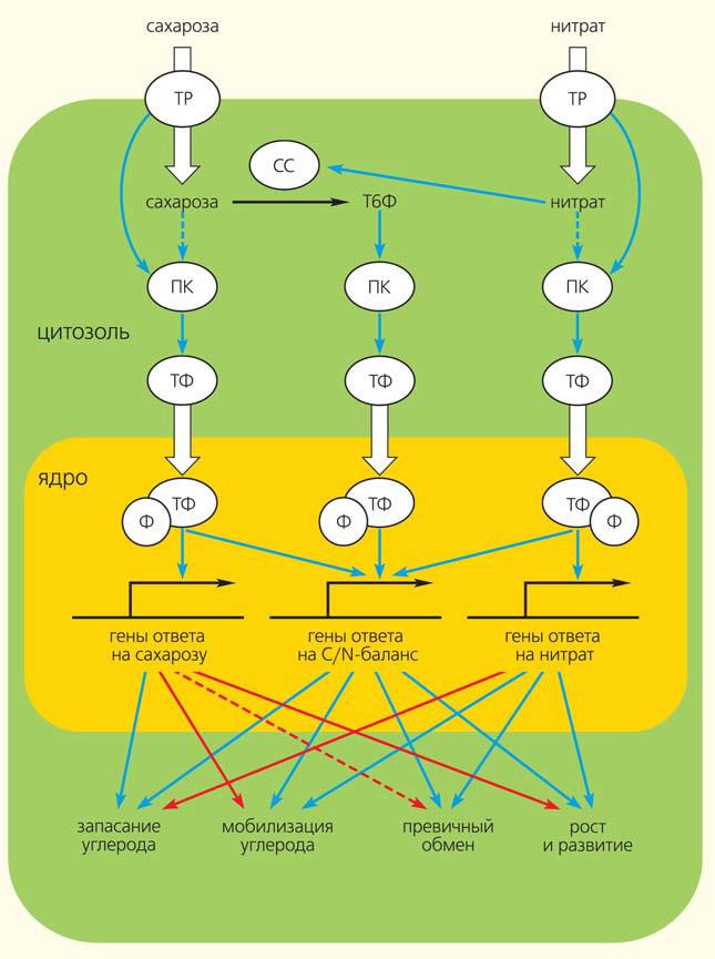 Рис. 2. Внутриклеточная передача сигнала нитрата и сахарозы («Природа» №10, 2019)