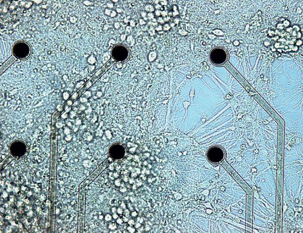 Нейрональная культура на мультиэлектродной матрице («Наука и жизнь» №3, 2016)