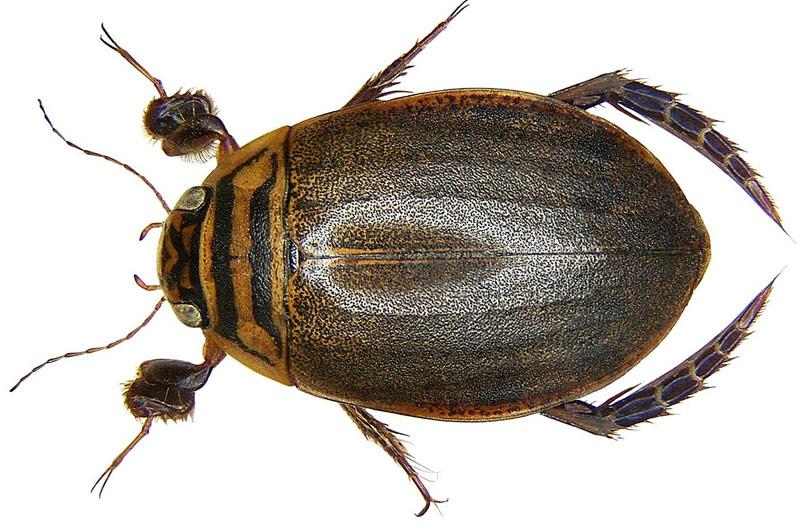Самец и самка жука-плавунца