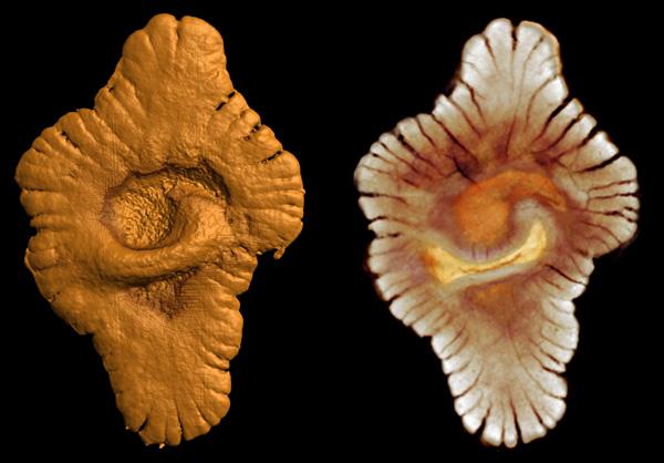 Загадочные колониальные или многоклеточные организмы возрастом 2,1миллиарда лет, найденные палеонтологами вГабоне. Длина образцов достигает 12сантиметров (ElAlbani etal., 2010)