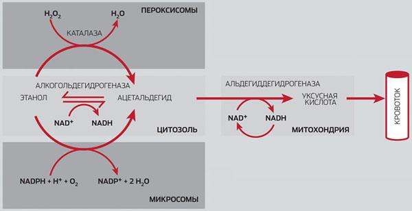 Путь этанола в организме («Популярная механика» №4, 2016)