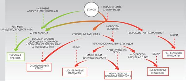 Роль ферментов в утилизации этанола («Популярная механика» №4, 2016)