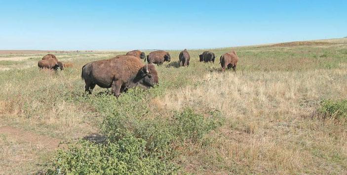 Бизоны на пастбищах природоохранного комплекса Ассоциации «Живая природа степи» («Природа» №11, 2018)
