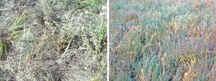 Состояние степной растительности на участке с подстилкой при исключении пастьбы и рядом на пастбищном участке без подстилки («Природа» №11, 2018)