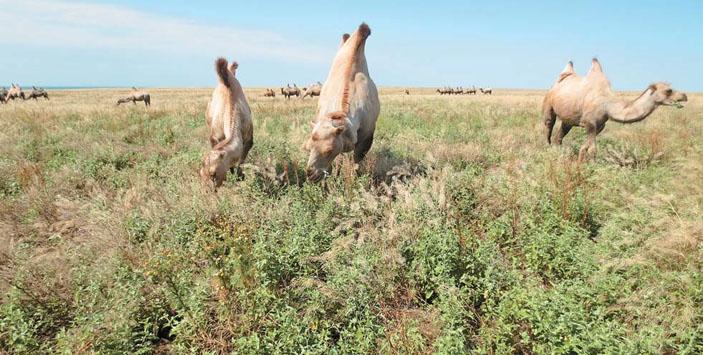 Двугорбые верблюды успешно осваивают непригодные для хозяйства бурьянистые залежи, возникающие на заброшенных пахотных землях («Природа» №11, 2018)