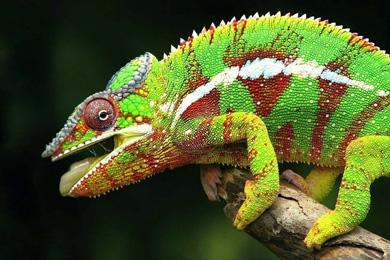 Хамелеон — король цвета в мире животных