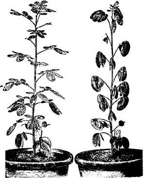 Томат Пламя агро: характеристика и описание сорта