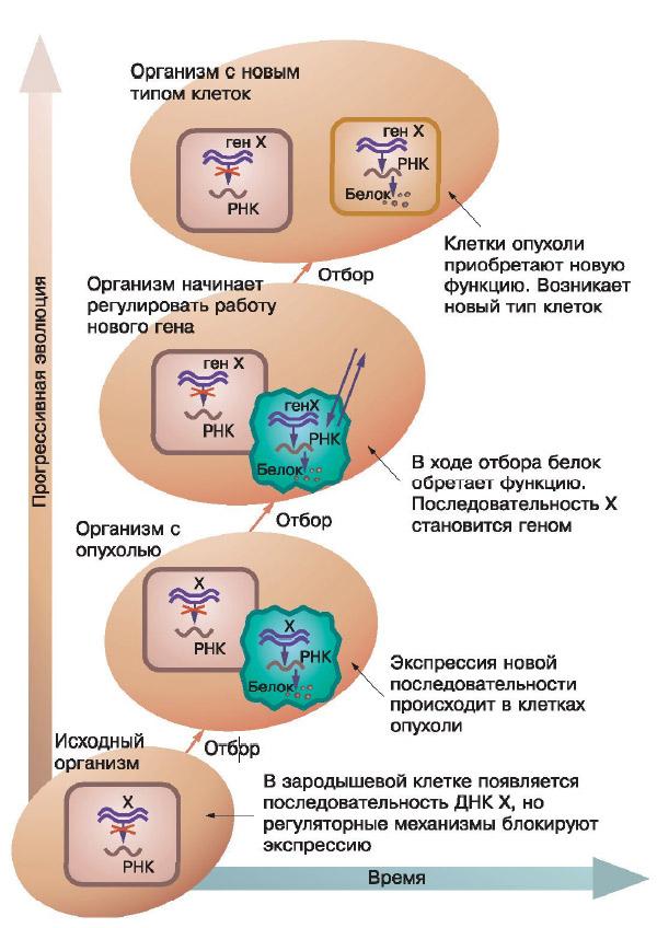 «Опухоли— полигон эволюции»