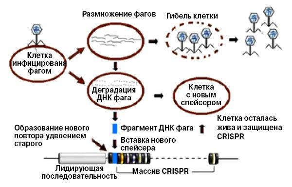 <b>Рис.2.</b> Пополнение коллекции фрагментов чужеродной ДНК в системе CRISPR-Cas.<br>\nПосле расщепления ДНК фага или плазмиды «трофейный» фрагмент вставляется в локус CRISPR в качестве спейсера. Затем он будет использован как шаблон для создания малых молекул crРНК. Спомощью комплексов crРНК и белка Cas9 бактерия защищается от инфекций