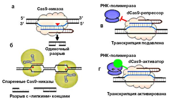 <b>Рис. 5.</b> Модификации белка Cas9: <b>а</b>— Cas9, у которого активна только одна из его нуклеаз, адругая инактивирована, разрезает только одну нить ДНК, называется Cas9-никазой; <b>б</b>— две Cas9-никазы с разными sgРНК разрезают ДНК с образованием «липких»— одноцепочечных концов; <b>в</b>— мутантный белок dCas9, у которого инактивированы обе нуклеазы, можно использовать для выключения гена, регуляторному участку которого комплементарна sgРНК; <b>г</b>— подобным же образом можно избирательно активировать синтез определенных генов