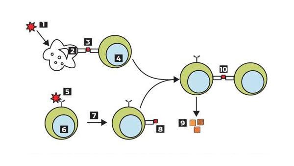 Взаимодействие В-лимфоцитов, Т-лимфоцитов и антиген-презентирующих клеток. Микроб (1) захватывается антиген-презентирующей клеткой (2), которая его переваривает и по частям выставляет на своей поверхности в специальном комплексе (3). Этот комплекс узнается рецептором Т-лимфоцита (4), который в дальнейшем будет помогать (10) В-лимфоциту (9), узнавшему аналогичный антиген, активироваться, делиться и производить антитела. Кроме того, рецептор В-лимфоцита (6) способен сам узнавать антиген микроба (5) и презентировать его (7) в обработанном виде (8) Т-лимфоциту (4), получая от него помощь в активации и делении. Изображение: «Популярная механика»