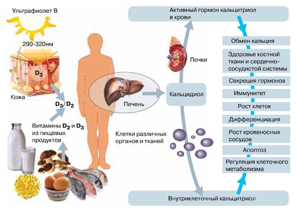 Рис 2. Витамины D (D2 и D3 ) поступают в наш организм с пищей и синтезируются в коже под влиянием ультрафиолета. Но сами по себе эти вещества биологически неактивны. Им предстоят два этапа превращений, в результате которых получается активный гормон  — кальцитриол. Он-то и начинает действовать на клетки, органы и ткани