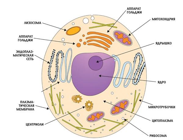 Помимо ядра клетки эукариот