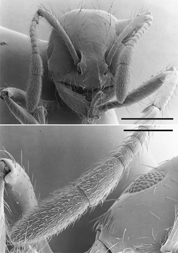 Рис. 2. На усиках муравья расположены джонстоновы органы, а также много трихоидных сенсилл, но неизвестно, достаточно ли они чувствительны, чтобы слышать звуки
