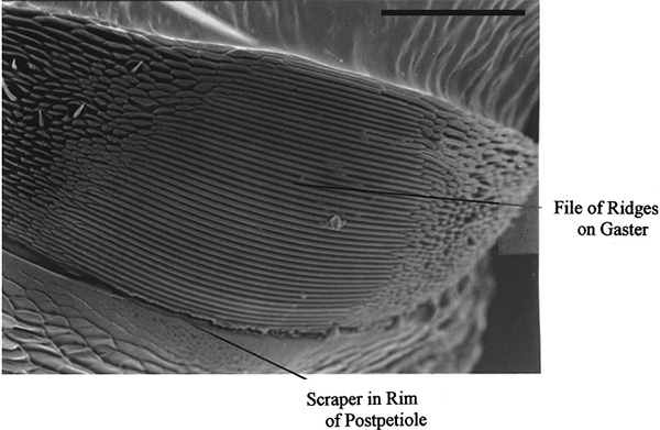 Рис. 3. Большинство муравьев издают звуки с помощью трения брюшка (Gaster) о стебелек (Postpetiole)