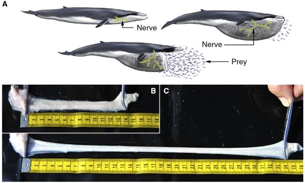 Растяжение нервов в пасти кита при зачерпывании воды