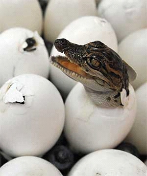 Рис. 2. Нужно внимательно присмотреться к яйцу, чтобы узнать, кто из него вылупится