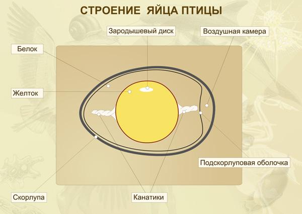 Рис. 3. Желток куриного яйца— это гигантская яйцеклетка