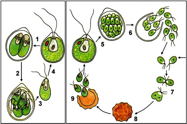 Рис. 4. Из яйца хламидомонады(8) выходит несколько клеток сожгутиками