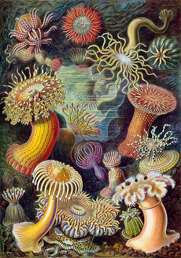 Актинии (морские анемоны)— пример радиально симметричных организмов. Рисунок из книги Эрнста Геккеля «Красота форм в природе»
