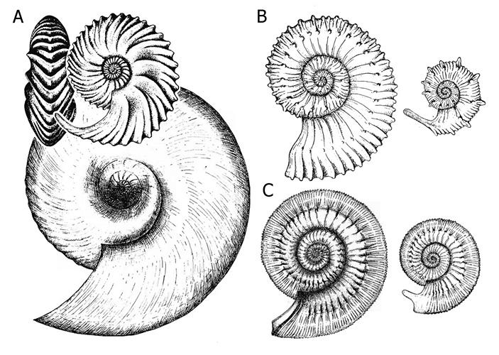 Примеры диморфизма аммонитов