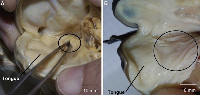 Рот и глотка обычной лягушки и калимантанской барбурулы