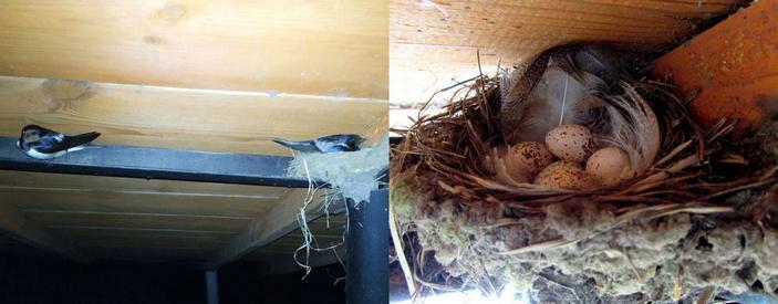 Деревенские ласточки у гнезда и гнездо