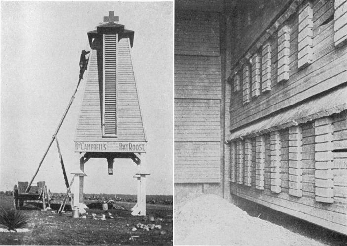 Слева — дом для летучих мышей, построенный Чарльзом Кэмпбеллом на берегу озера Митчелл, недалеко от города Сан-Антонио. Это была уже вторая башня Кэмпбелла, ее строительство было завершено 2 апреля 1911 года. Справа — домик изнутри: внизу — яма, заполненная мышиным гуано; на стене — полки для «летнего» насеста; над наклонными полками видны темные щели, ведущие в другие части летнего насеста. Фотографии сделаны 10 января 1919 года. Фото из статьи: Tracy I. Storer, 1926. Bats, Bat Towers and Mosquitoes