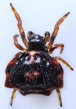 Самец рогатого паука
