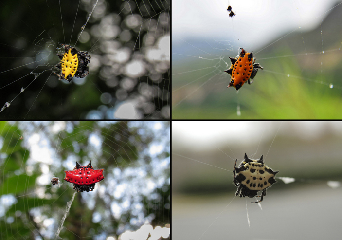 Морфы рогатых пауков