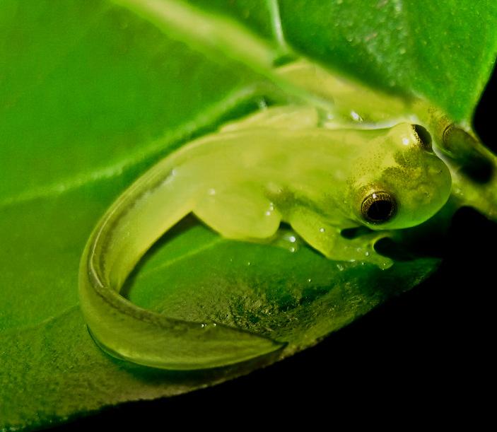 Головастик стеклянной лягушки
