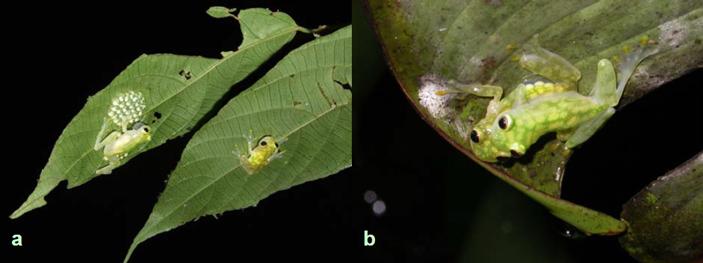 а — самка Hyalinobatrachium valerioi (справа) приближается к издающему призывные звуки самцу (слева). b — амплексус у Hyalinobatrachium valerioi; через прозрачный бок самки (снизу) видны яйца