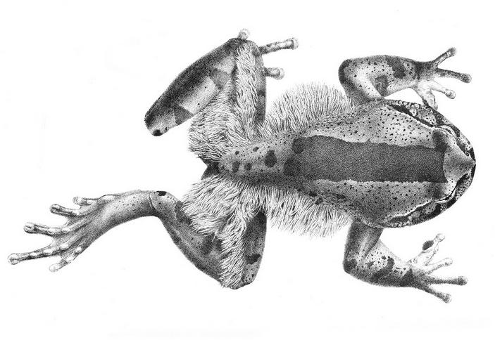Внешний вид самца волосатой лягушки
