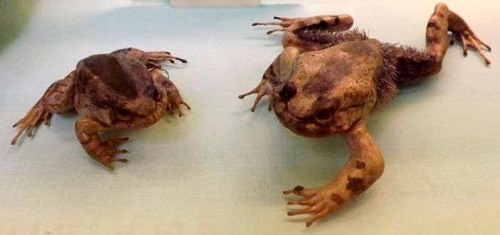 Самец и самка волосатой лягушки