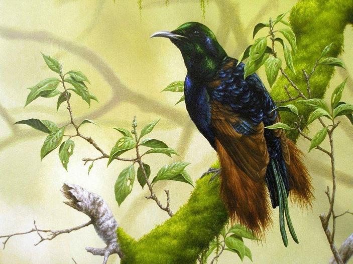 Райская птица Бенсбаха