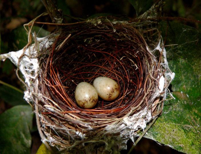 Гнездо краснолобой кустарниковой тимелии