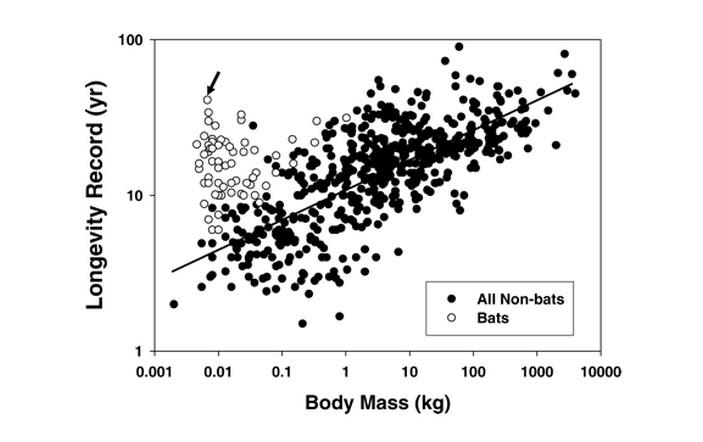 Продолжительность жизни летучих мышей