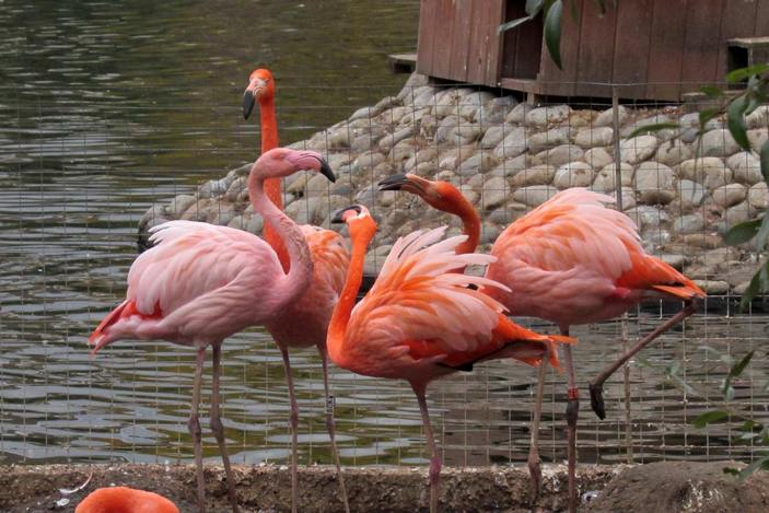 Розовый и красные фламинго