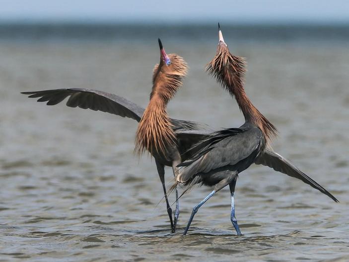 Брачный танец рыжеватых цапель