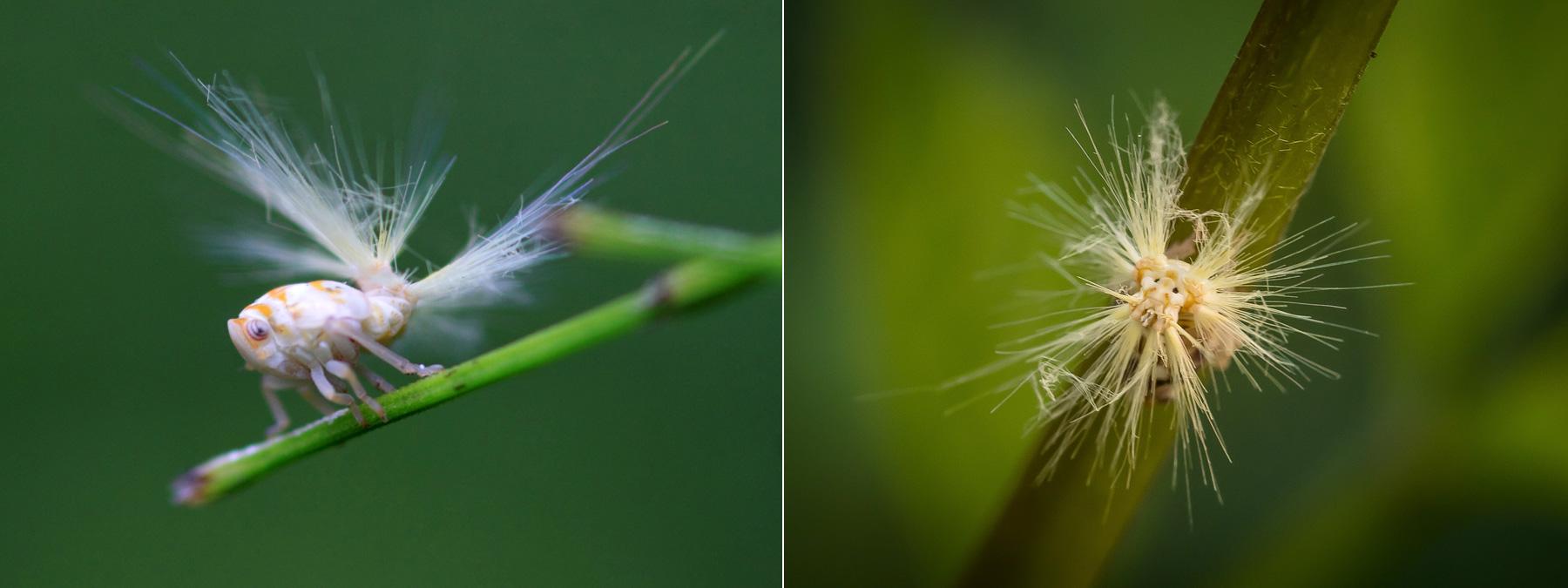 всеми любимый личинка цикады с пушистым хвостом фото вероятно уважения