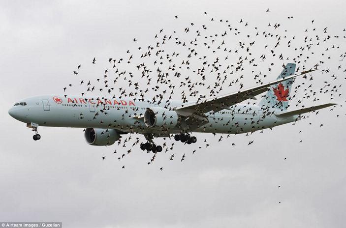 Стая птиц окружила Boeing 777