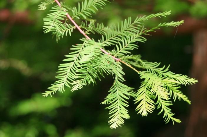 Листья болотного кипариса