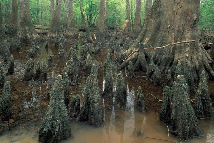 Пневматофоры болотных кипарисов
