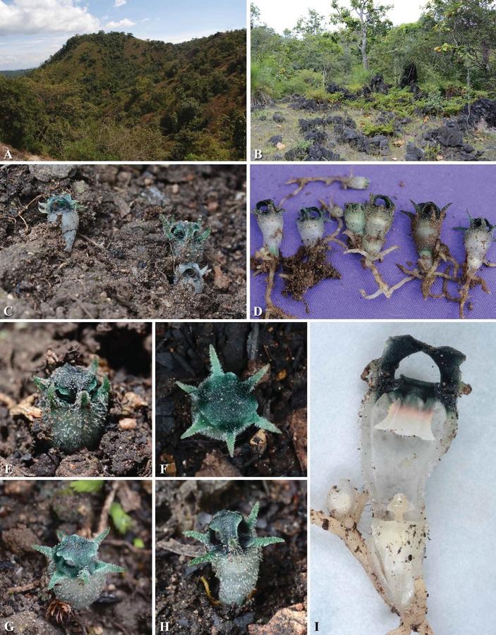 Thismia thaithongiana местообитания и цветки