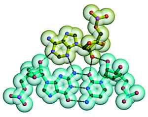 «А-минорное» взаимодействие: аденозин укладывается вмалый желобок двойной спирали собразованием четырех водородных связей. Рис. из лекции А.С.Спирина (взят из статьи: Poul Nissen et al. RNA tertiary interactions in the large ribosomal subunit: The A-minor motif// PNAS. 2001. V.98. P.4899–4903)